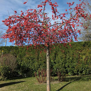Malus-red-sentinel