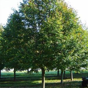 Tilia-cordata-green-spire