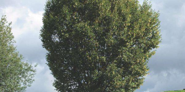 Carpinus_betulus_Fastigiata_2