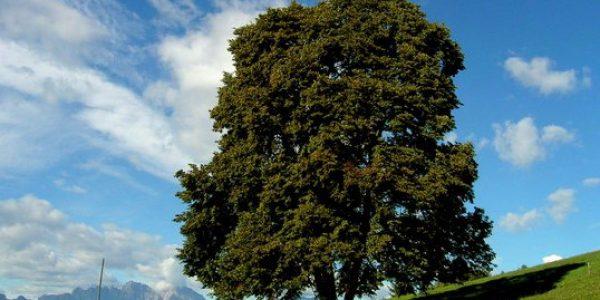 Tilia cordata green spire la fattoria del soul for Tiglio albero