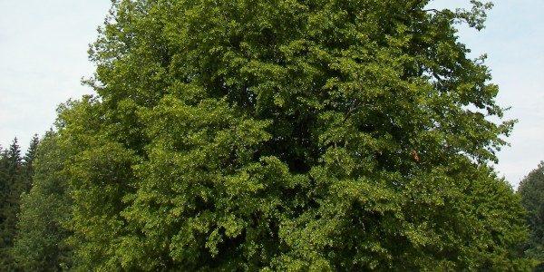 carpino-albero-e1389200628904